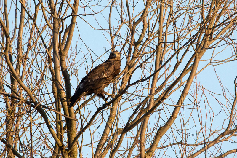 Aquila clanga/Greater spotted eagle/Fekete sas/Acvila tipatore mare