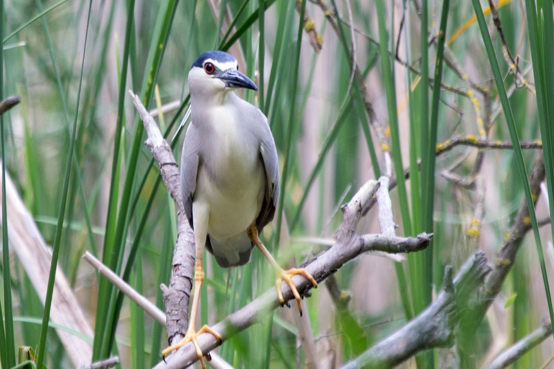 Black-crowned night heron/ Bakcsó/ Nycticorax nycticorax
