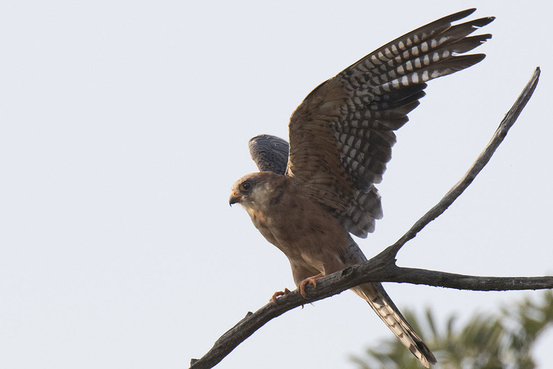 Red-footed falcon/ Kék vércse/ Vânturel de seară/ Falco vespertinus