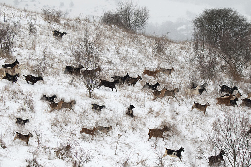 Winterscape with goats