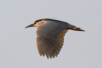 Black-crowned night heron/ Bakcsó/ Stârc de noapte/ Nycticorax nycticorax