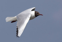 Black-headed gull/ Dankasirály/ Pescăruș râzător/ Chroicocephalus ridibundus