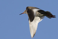x commonRedshank k4