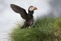 Puffin/ Lunda / Papagal de mare/ Fratercula